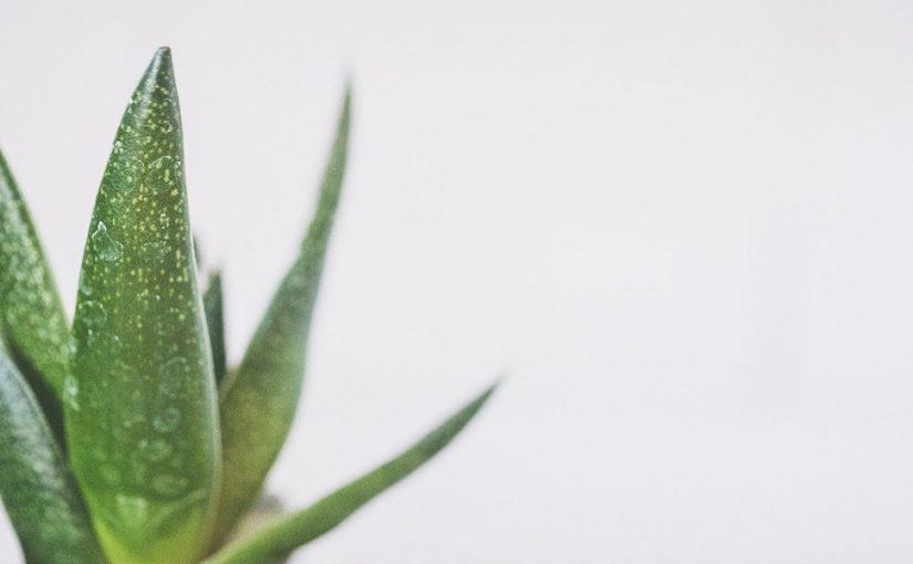 Qué es y algunas curaciones que se le atribuyen al Aloe Vera.